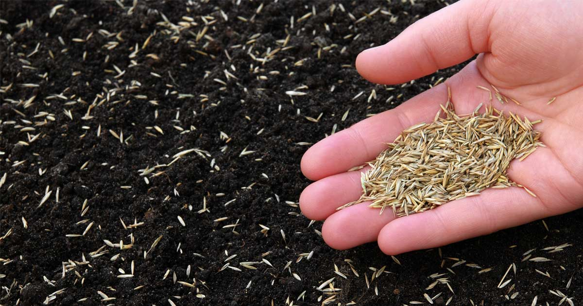 Sowing grass with grass seed