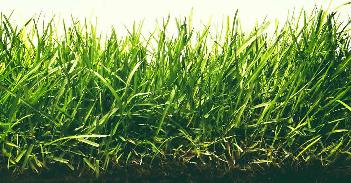Tall Fescue Type Grass