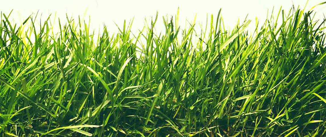 Fescue What You Need To Know